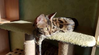 Продажа бенгальских котят. Вся Украина